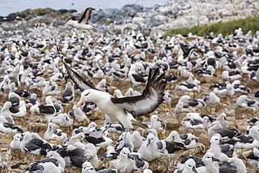 Adult black-browed albatross (Thalassarche melanophris) landing in breeding colony on Steeple Jason Island, Falkland Islands, UK Overseas Protectorate, South America