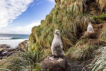 Black-browed albatross (Thalassarche melanophris) chicks in nest on Saunders Island, Falkland Islands, UK Overseas Protectorate, South America