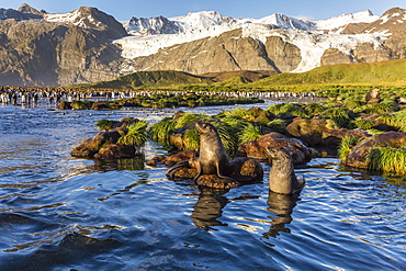 Antarctic fur seals (Arctocephalus gazella) in snow melt river in Gold Harbor, South Georgia, UK Overseas Protectorate, Polar Regions