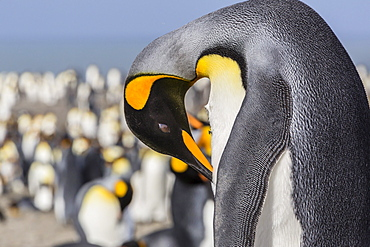 Adult king penguin (Aptenodytes patagonicus) at breeding colony at St. Andrews Bay, South Georgia, UK Overseas Protectorate, Polar Regions