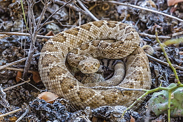 Adult Isla Catalina rattleless rattlesnake (Crotalus catalinensis) in its brown color variation, Isla Santa Catalina, Baja California Sur, Mexico, North America