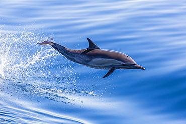 Long-beaked common dolphin (Delphinus capensis) leaping near Isla Santa Catalina, Baja California Sur, Mexico, North America
