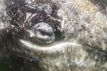 Close up of California gray whale (Eschrichtius robustus) approaching Zodiac underwater in Magdalena Bay, Baja California Sur, Mexico, North America