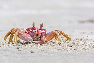 Adult gulf ghost crab (Hoplocypode occidentalis) on Sand Dollar Beach, Magdalena Island, Baja California Sur, Mexico, North America