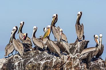 Brown pelicans (Pelecanus occidentalis) in breeding plumage at Isla Rasita, Baja California, Mexico, North America