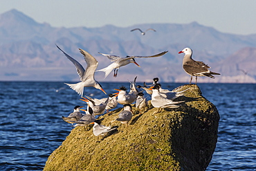 Breeding elegant terns (Thalasseus elegans) return to colony on Isla Rasa, Baja California Norte, Mexico, North America