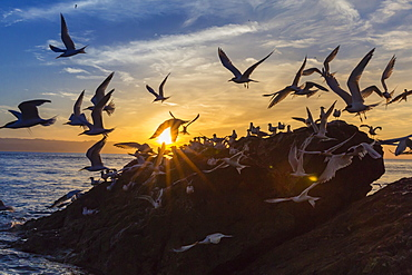 Breeding elegant terns (Thalasseus elegans) return to colony on Isla Rasita at sunset, Baja California Norte, Mexico, North America