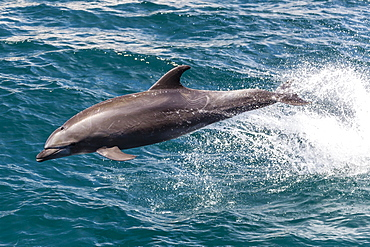 Adult bottlenose dolphin (Tursiops truncatus) leaping in the waters near Isla San Pedro Martir, Baja California Norte, Mexico, North America