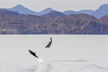 Adult bottlenose dolphins (Tursiops truncatus) leaping in the waters near Isla Danzante, Baja California Sur, Mexico, North America