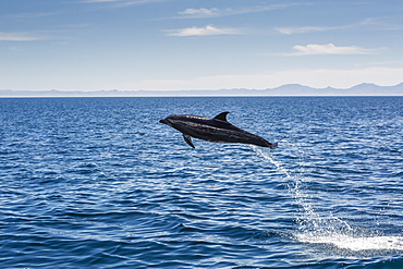 Adult bottlenose dolphin (Tursiops truncatus) leaping in the waters near Isla Danzante, Baja California Sur, Mexico, North America