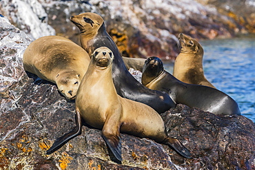 California sea lions (Zalophus californianus) hauled out on Isla Rasita, Baja California Norte, Mexico, North America