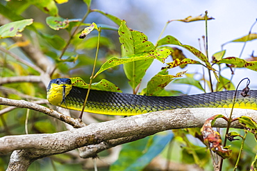 An adult Australian tree snake (Dendrelaphis punctulata), on the banks of the Daintree River, Daintree rain forest, Queensland, Australia, Pacific