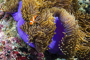 False clown anemonefish (Amphiprion ocellaris), Sebayur Island, Komodo Island National Park, Indonesia, Southeast Asia, Asia