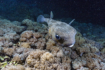 Porcupinefish (Diodon hystrix) at night on house reef at Sebayur Island, Komodo Island National Park, Indonesia, Southeast Asia, Asia
