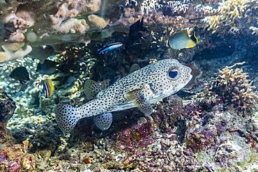 Porcupinefish (Diodon hystrix) on house reef at Sebayur Island, Komodo Island National Park, Indonesia, Southeast Asia, Asia