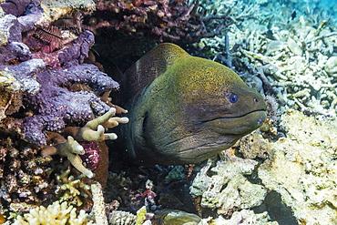 Yellowmargin moray eel (Gymnothorax flavimarginatus), Sebayur Island, Komodo Island National Park, Indonesia, Southeast Asia, Asia