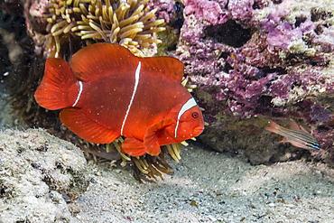 An adult female spinecheek anemonefish (Premnas biaculeatus), Sebayur Island, Komodo Island National Park, Indonesia, Southeast Asia, Asia
