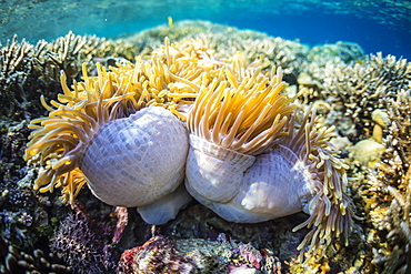 Hard and soft corals and anenomes underwater on Sebayur Island, Komodo Island National Park, Indonesia, Southeast Asia, Asia