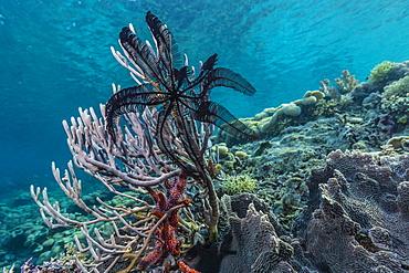 Hard and soft corals and crinoid underwater on Sebayur Island, Komodo Island National Park, Indonesia, Southeast Asia, Asia