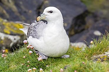 Northern fulmars (Fulmarus glacialis) at Sumburgh Head, Mainland Island, Shetland Isles, Scotland, United Kingdom, Europe