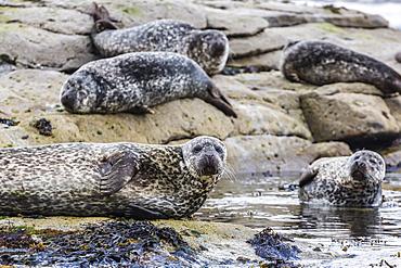 Gray seals (grey seals) (Halichoerus grypus) hauled out on the shoreline on Mainland Island, Shetland Isles, Scotland, United Kingdom, Europe