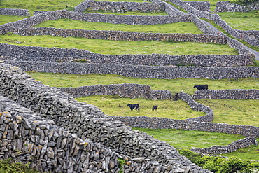 Rock walls create small paddocks for sheep and cattle on Inisheer, the easternmost of the Aran Islands, Republic of Ireland, Europe
