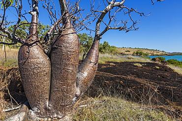 The Australian boab tree (Adansonia gregorii), Camden Harbour, Kimberley, Western Australia, Australia, Pacific