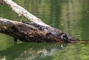 Wild freshwater crocodile (Crocodylus johnsoni) (Crocodylus johnstoni), Ord River, Kimberley, Western Australia, Australia, Pacific