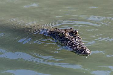 An adult wild saltwater crocodile (Crocodylus porosus) in the Hunter River in Mitchell River National Park, Kimberley, Western Australia, Australia, Pacific