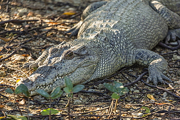 Wild saltwater crocodile (Crocodylus porosus) on the banks of the Hunter River, Mitchell River National Park, Kimberley, Western Australia, Australia, Pacific