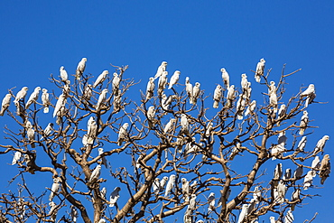 Adult little corellas (Cacatua sanguinea) in boab tree in Wyndham, Kimberley, Western Australia, Australia, Pacific