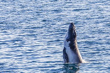 Humpback whale (Megaptera novaeangliae) calf breaching in Yampi Sound, Kimberley, Western Australia, Australia, Pacific