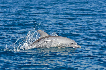 Indo-Pacific bottlenose dolphin (Tursiops aduncus), in Yampi Bay, Kimberley, Western Australia, Australia, Pacific