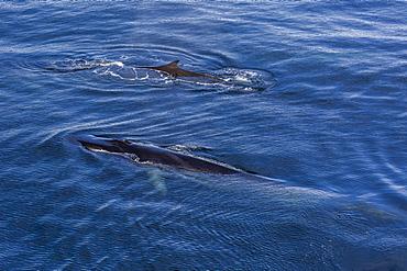 Possible cow and calf fin whale (Balaenoptera physalus) surfacing near Hornsund, Spitsbergen, Svalbard, Arctic, Norway, Scandinavia, Europe