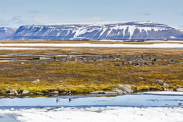 Courting pair of long-tailed ducks (Clangula hyemalis), Bellsund, Spitsbergen, Svalbard, Arctic, Norway, Scandinavia, Europe