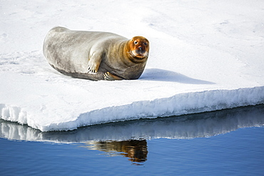 Adult bearded seal (Erignathus barbatus) hauled out on ice in Olga Strait, Svalbard, Arctic, Norway, Scandinavia, Europe