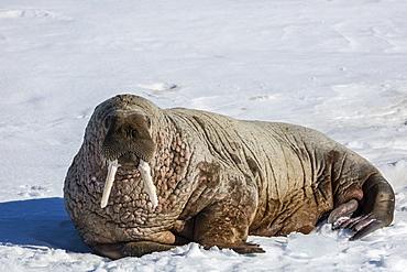 Adult bull Atlantic walrus (Odobenus rosmarus rosmarus) hauled out on ice in Storfjorden, Svalbard, Arctic, Norway, Scandinavia, Europe
