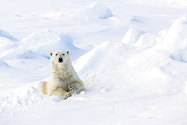 Adult polar bear (Ursus maritimus) in day bed on first year sea ice in Olga Strait, near Edgeoya, Svalbard, Arctic, Norway, Scandinavia, Europe