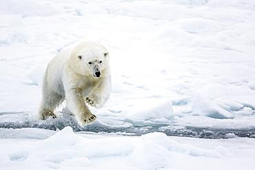 Adult polar bear (Ursus maritimus) leaping across open lead in first year sea ice in Olga Strait, near Edgeoya, Svalbard, Arctic, Norway, Scandinavia, Europe