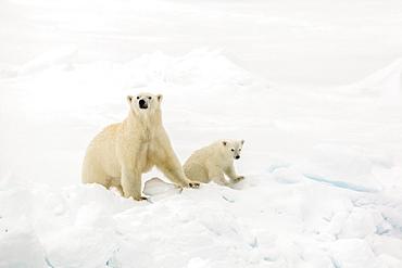 Mother and calf polar bear (Ursus maritimus) on first year sea ice in Olga Strait, near Edgeoya, Svalbard, Arctic, Norway, Scandinavia, Europe