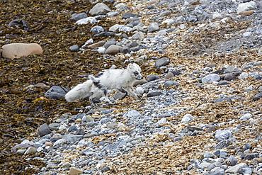 Adult arctic fox (Vulpes lagopus) losing its winter coat for its summer coat, Gnalodden, Hornsund, Spitsbergen, Svalbard, Arctic, Norway, Scandinavia, Europe