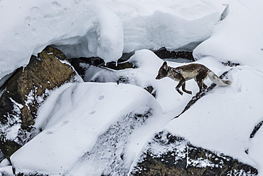 Adult arctic fox (Vulpes lagopus) on ice, losing its winter coat for its summer coat, Alkefjelet, Cape Fanshawe, Spitsbergen, Svalbard, Arctic, Norway, Scandinavia, Europe