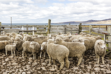 Sheep waiting to be shorn at Long Island Sheep Farms, outside Stanley, Falkland Islands, U.K. Overseas Protectorate, South America