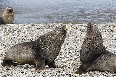 Adult bull Antarctic fur seals (Arctocephalus gazella) fighting in Stromness Harbor, South Georgia, Polar Regions
