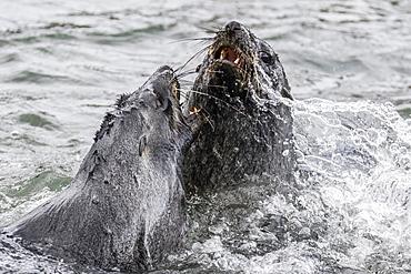 Young Antarctic fur seals (Arctocephalus gazella) mock fighting in Grytviken Harbor, South Georgia, Polar Regions