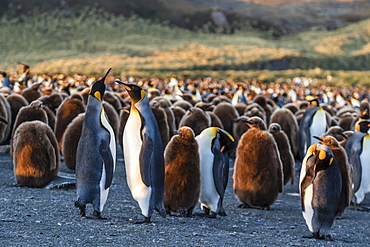 King penguins (Aptenodytes patagonicus) in early morning light at Gold Harbor, South Georgia, Polar Regions