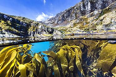Above and below water view of kelp in Hercules Bay, South Georgia, Polar Regions