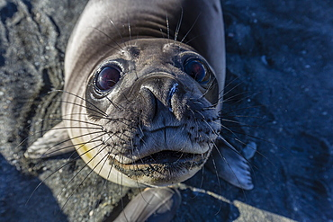 Curious southern elephant seal pup (Mirounga leonina), Gold Harbor, South Georgia, Polar Regions