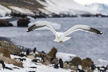 Adult kelp gull (Larus dominicanus) in flight at Brown Bluff, Antarctic Sound, Antarctica, Polar Regions