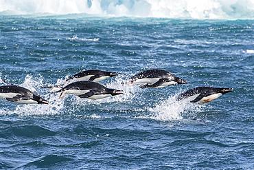 Adelie penguins (Pygoscelis adeliae) porpoising at sea at Brown Bluff, Antarctica, Southern Ocean, Polar Regions